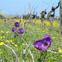 Rang de vignes fleuri